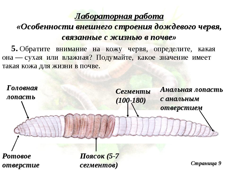 Лабораторная работа «Особенности внешнего строения дождевого червя, связанные...