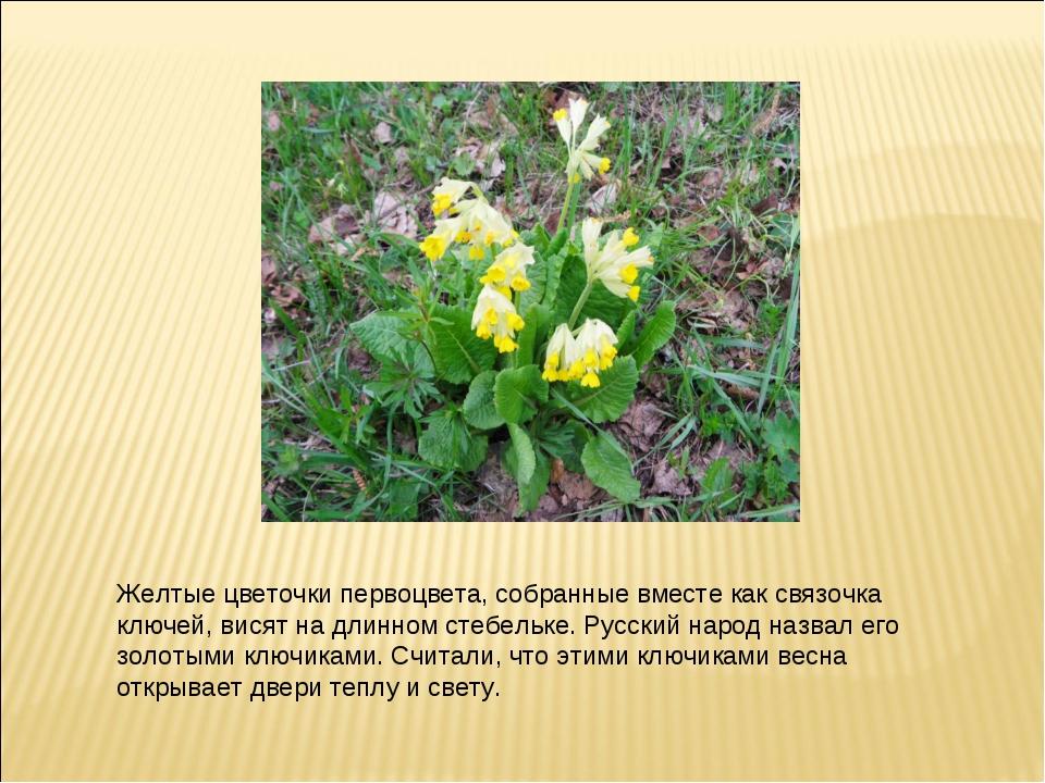 Желтые цветочки первоцвета, собранные вместе как связочка ключей, висят на дл...