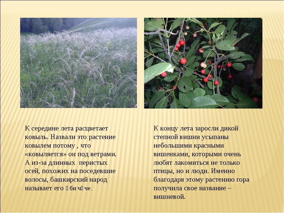 К середине лета расцветает ковыль. Назвали это растение ковылем потому , что...