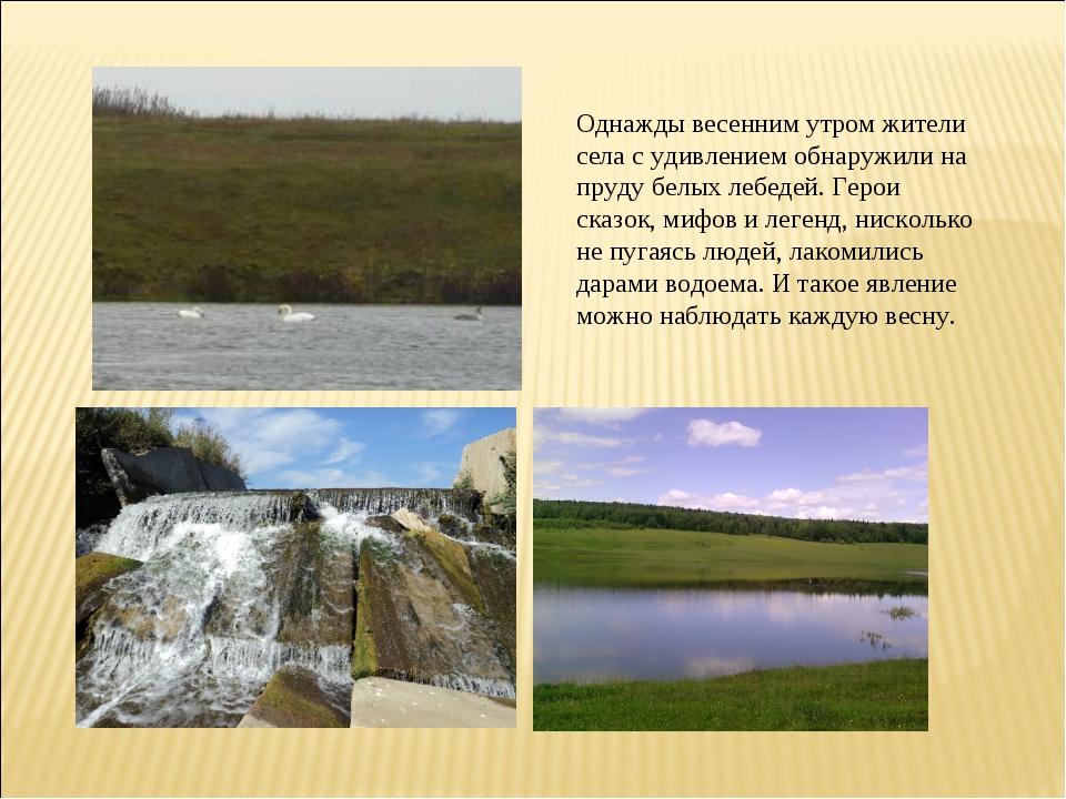 Однажды весенним утром жители села с удивлением обнаружили на пруду белых леб...