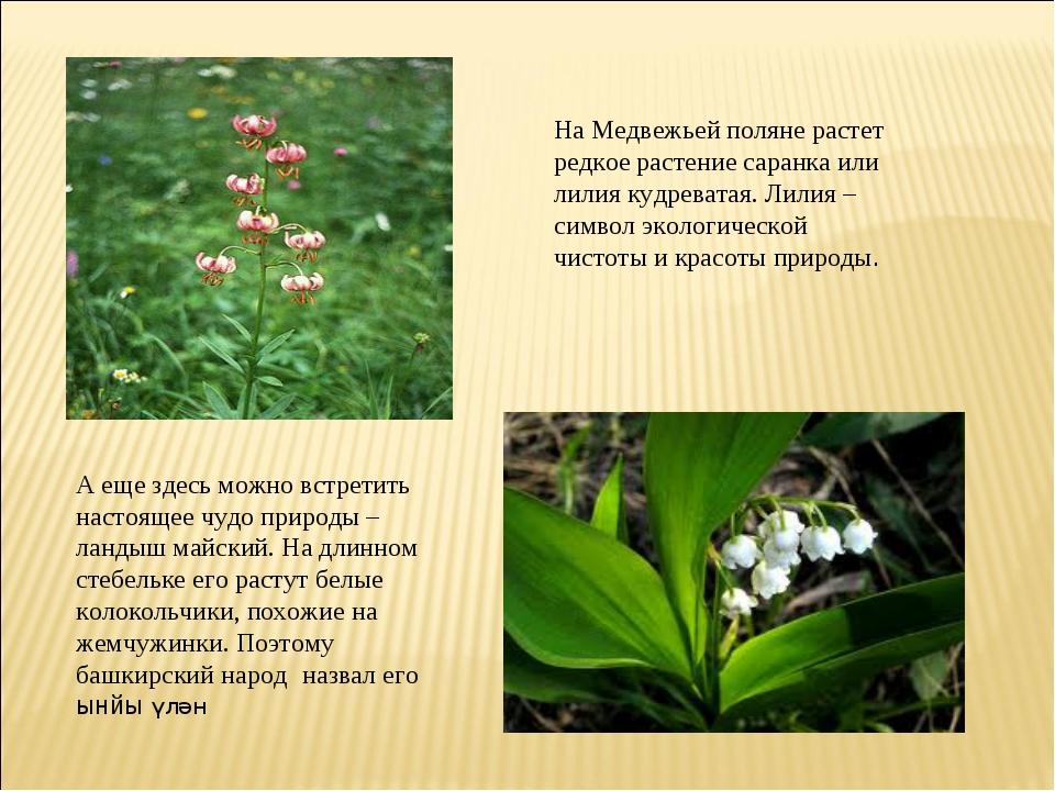На Медвежьей поляне растет редкое растение саранка или лилия кудреватая. Лили...
