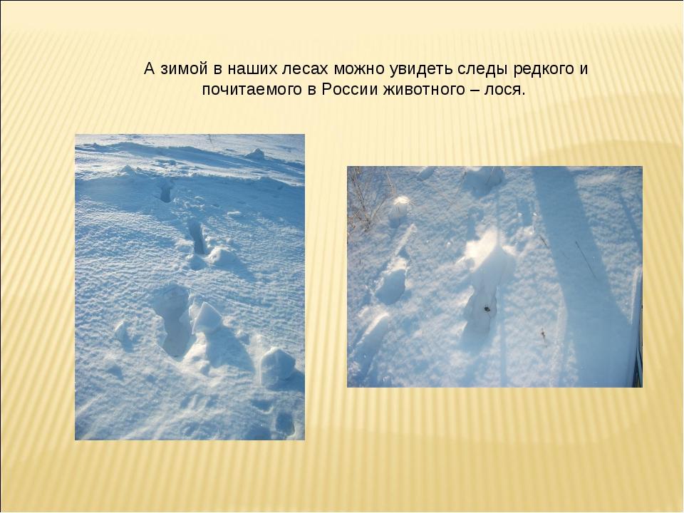 А зимой в наших лесах можно увидеть следы редкого и почитаемого в России живо...
