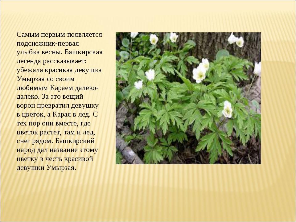 Самым первым появляется подснежник-первая улыбка весны. Башкирская легенда ра...