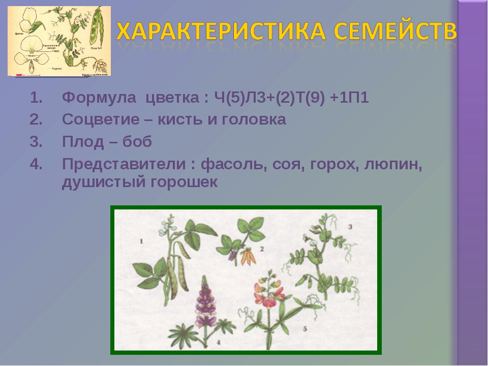 Формула цветка : Ч(5)Л3+(2)Т(9) +1П1 Соцветие – кисть и головка Плод – боб Пр...