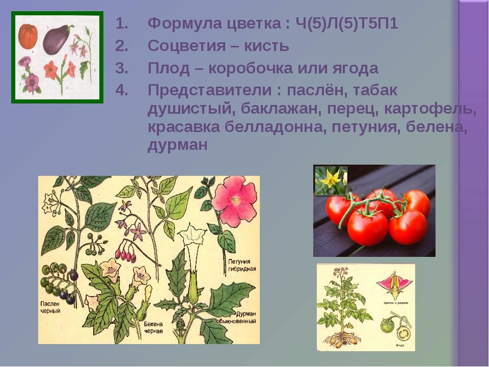 Формула цветка : Ч(5)Л(5)Т5П1 Соцветия – кисть Плод – коробочка или ягода Пре...