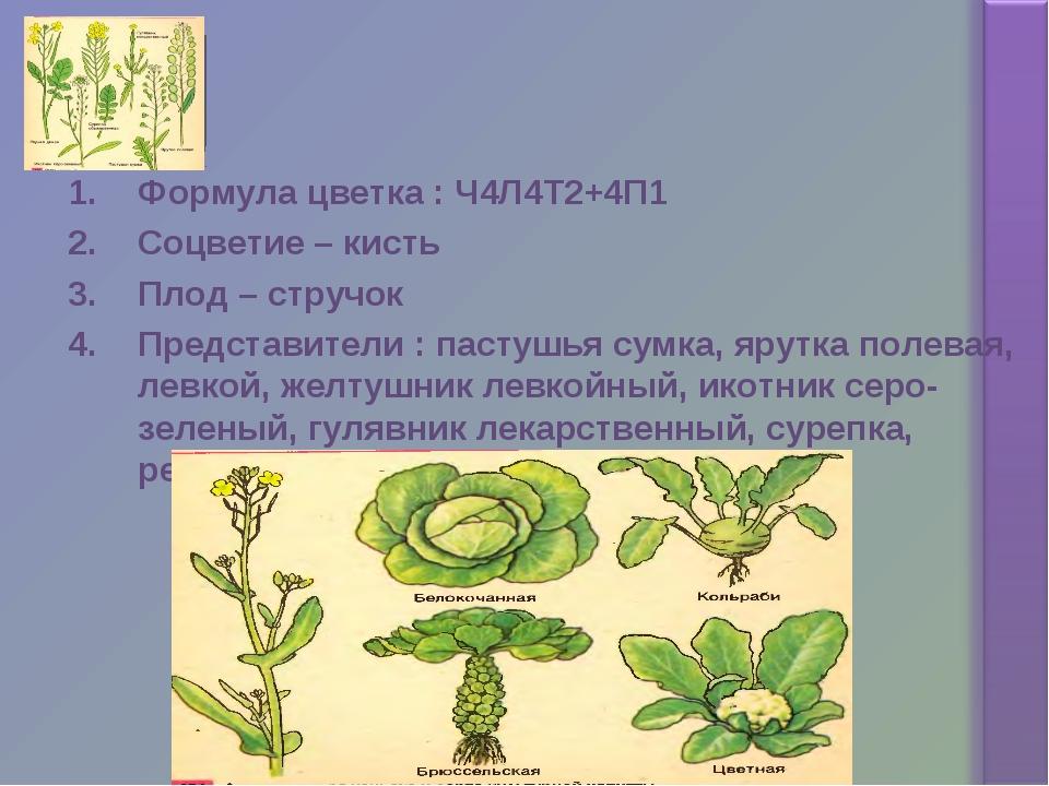 Формула цветка : Ч4Л4Т2+4П1 Соцветие – кисть Плод – стручок Представители : п...