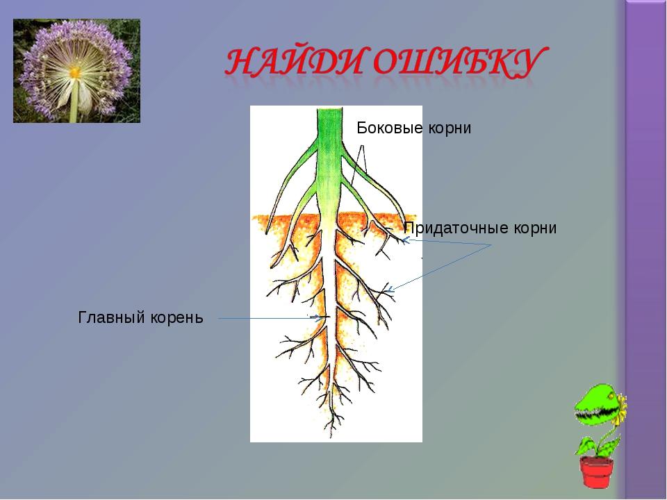 Придаточные корни Боковые корни Главный корень