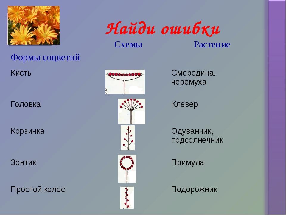 Найди ошибки Формы соцветийСхемыРастение КистьСмородина, черёмуха Головка...