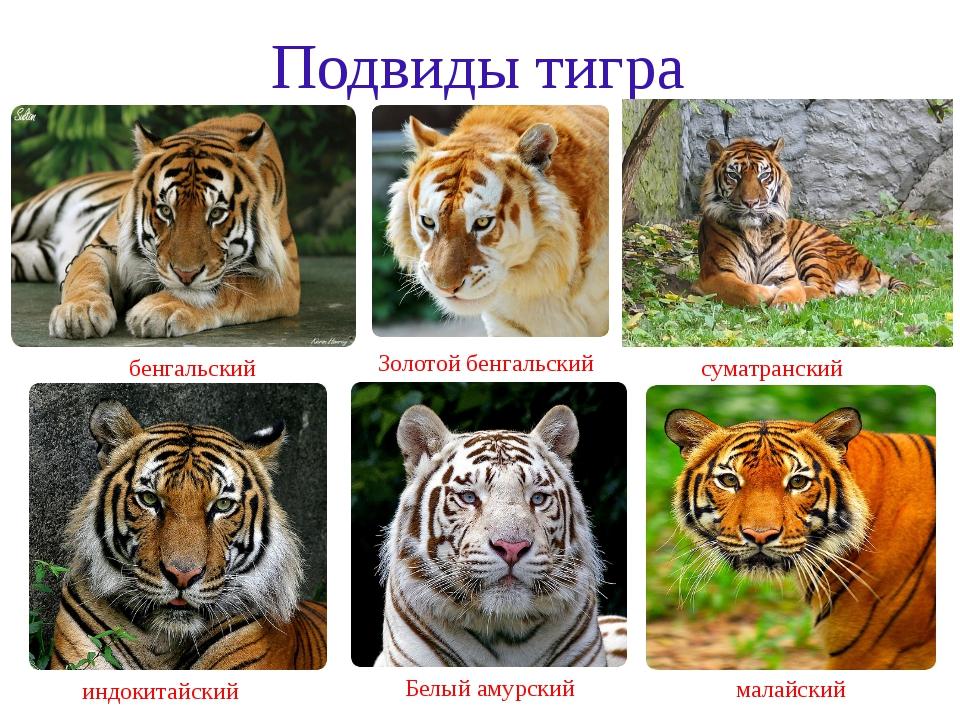 Подвиды тигра индокитайский бенгальский Белый амурский суматранский малайский...