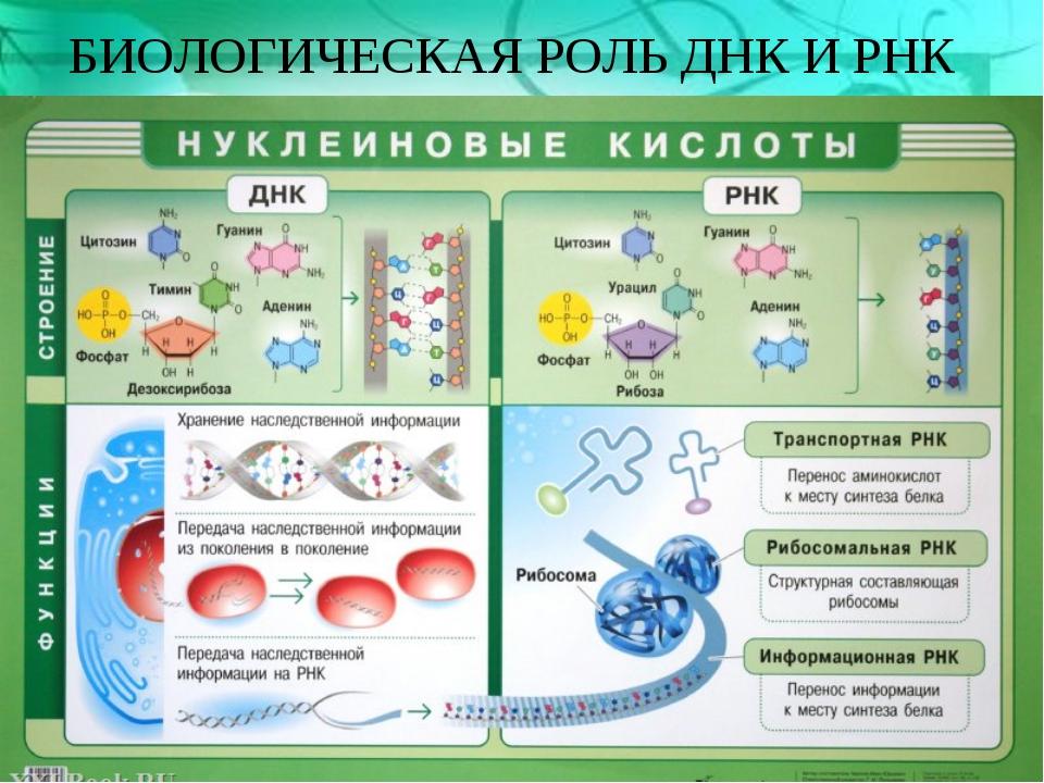 БИОЛОГИЧЕСКАЯ РОЛЬ ДНК И РНК