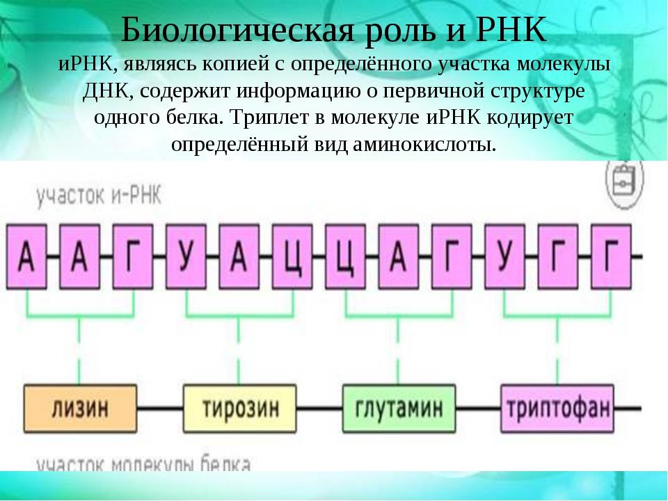 Биологическая роль и РНК иРНК, являясь копией с определённого участка молекул...