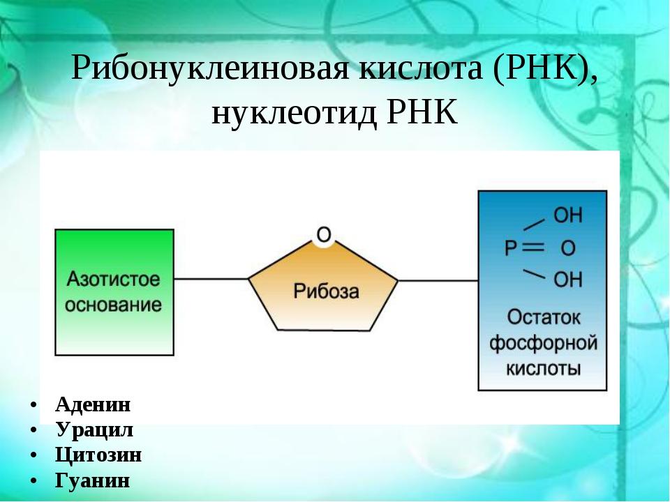 Рибонуклеиновая кислота (РНК), нуклеотид РНК Аденин Аденин Урацил Цитозин Гуа...