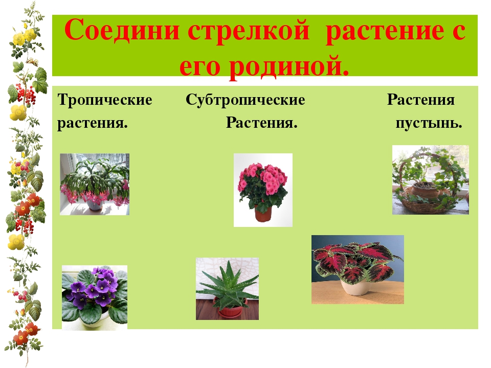 Соедини стрелкой растение с его родиной. Тропические Субтропические Растения...