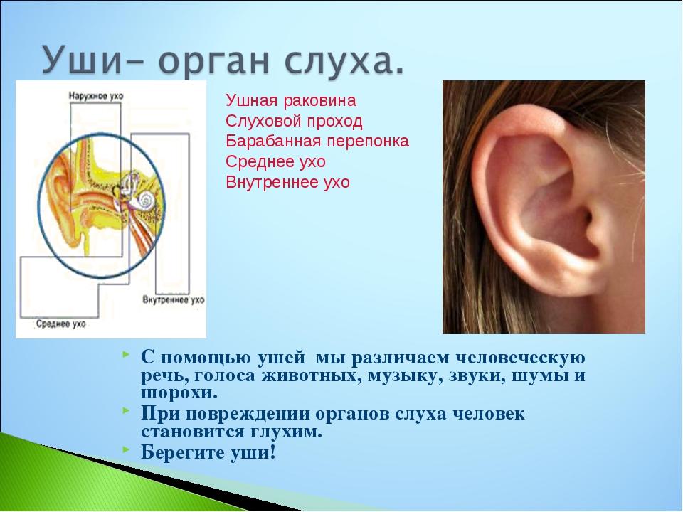 Картинки уши орган слуха