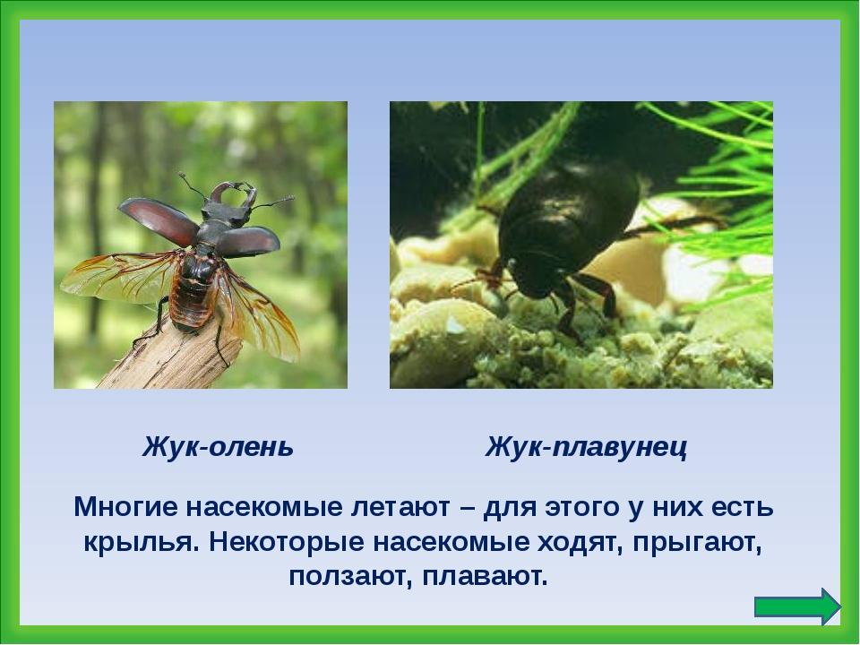 Жук-олень Многие насекомые летают – для этого у них есть крылья. Некоторые на...
