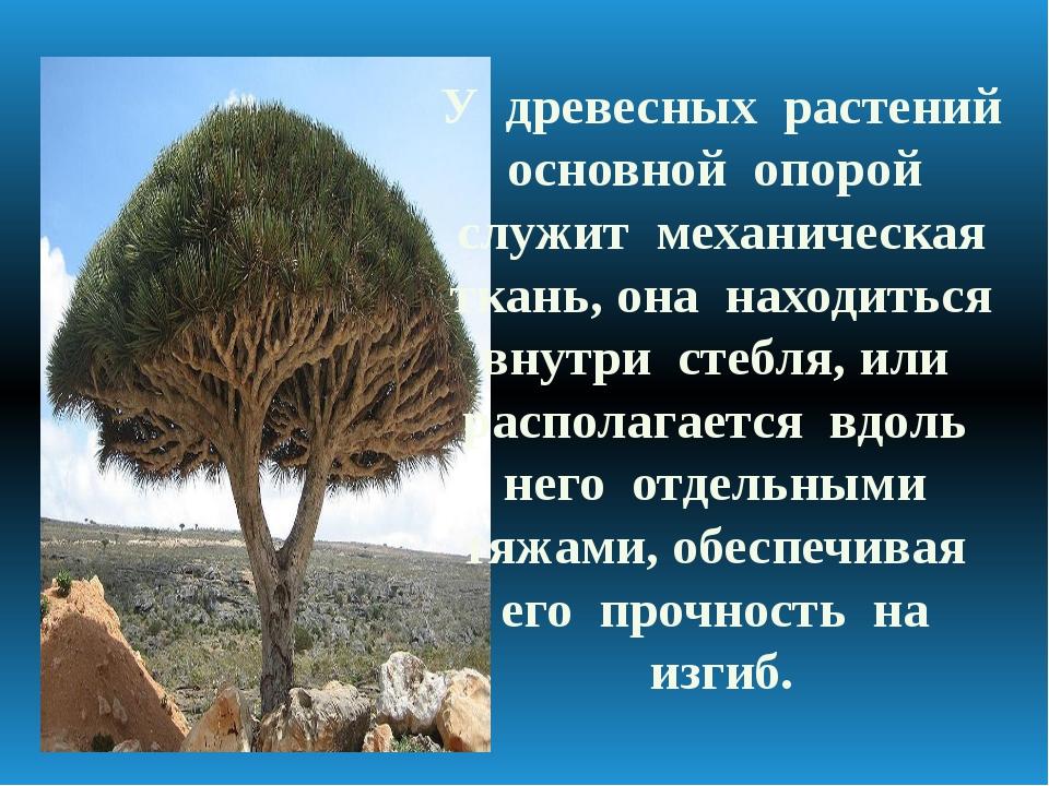 У древесных растений основной опорой служит механическая ткань, она находитьс...