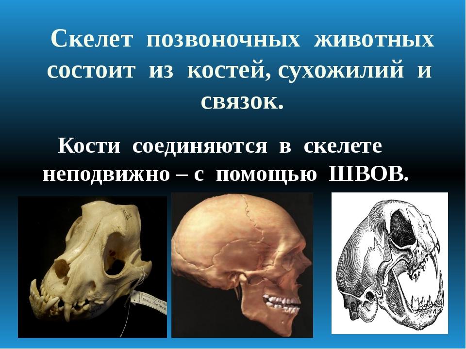 Скелет позвоночных животных состоит из костей, сухожилий и связок. Кости соед...