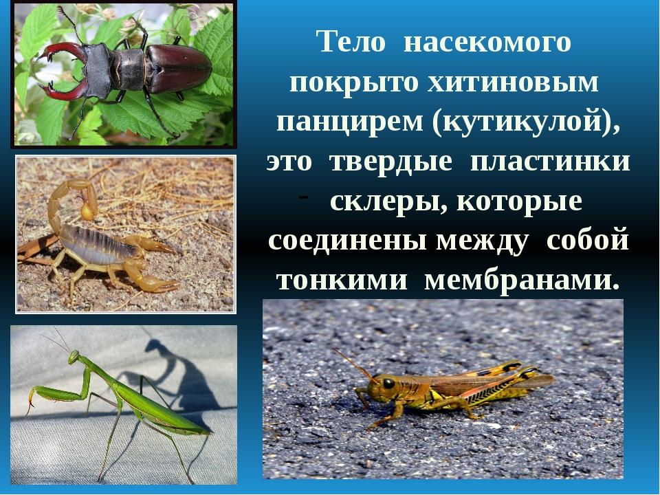 Тело насекомого покрыто хитиновым панцирем (кутикулой), это твердые пластинки...