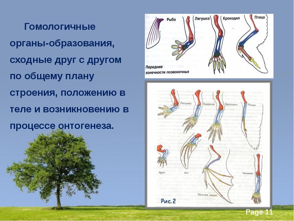 Гомологичные органы-образования, сходные друг с другом по общему плану стро...