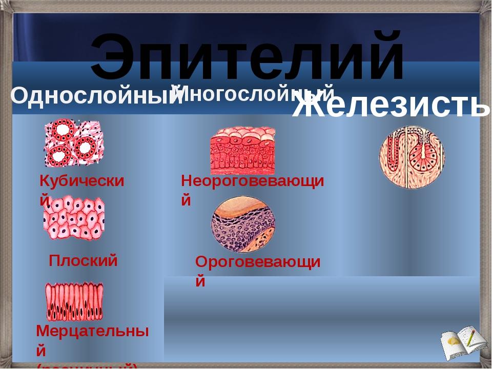 Эпителий Однослойный Многослойный Железистый Мерцательный (ресничный) Плоский...