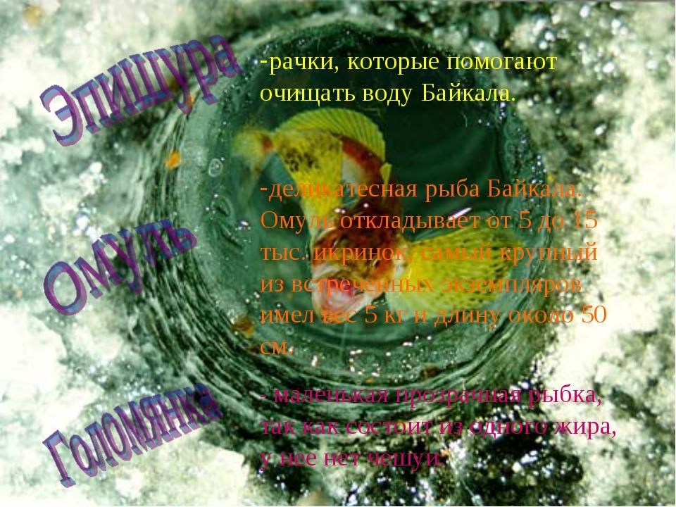 рачки, которые помогают очищать воду Байкала. деликатесная рыба Байкала. Омул...