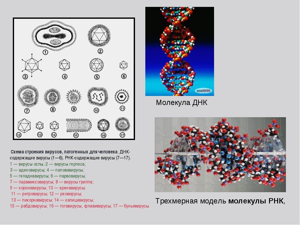 Схема строения вирусов, патогенных для человека: ДНК-содержащие вирусы (1—6)...