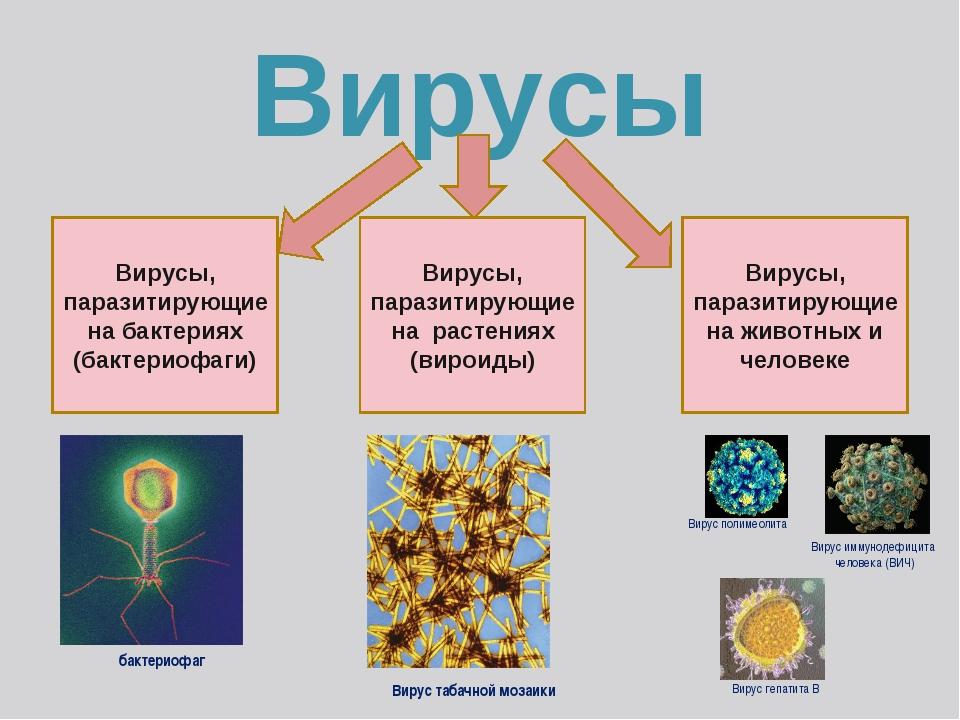 Вирусы Вирусы, паразитирующие на бактериях (бактериофаги) Вирусы, паразитирую...