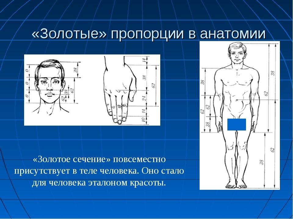 «Золотые» пропорции в анатомии «Золотое сечение» повсеместно присутствует в т...