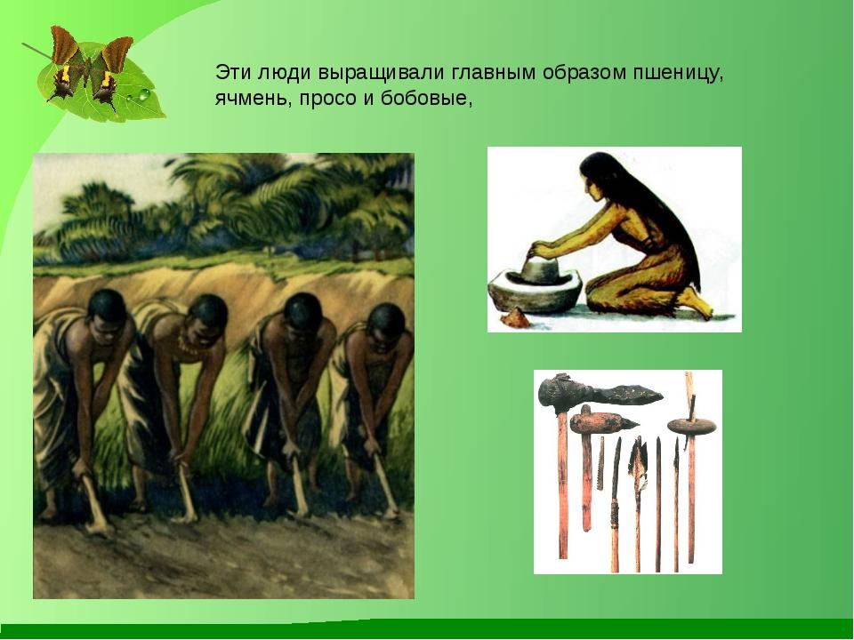 Эти люди выращивали главным образом пшеницу, ячмень, просо и бобовые,