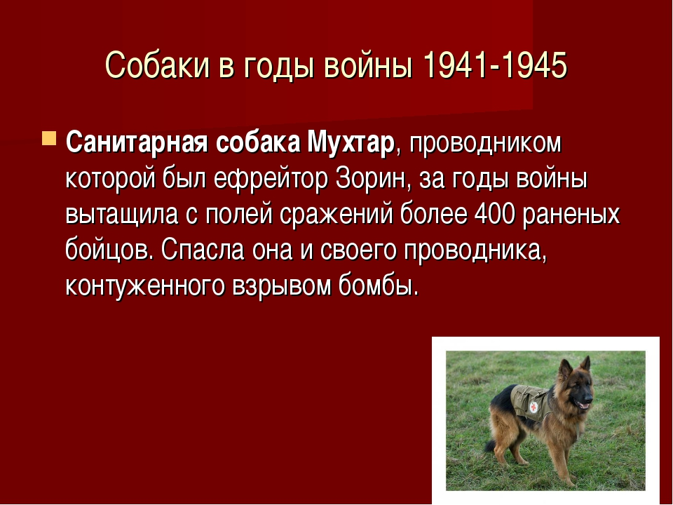 Собаки в годы войны 1941-1945 Санитарная собака Мухтар, проводником которой б...