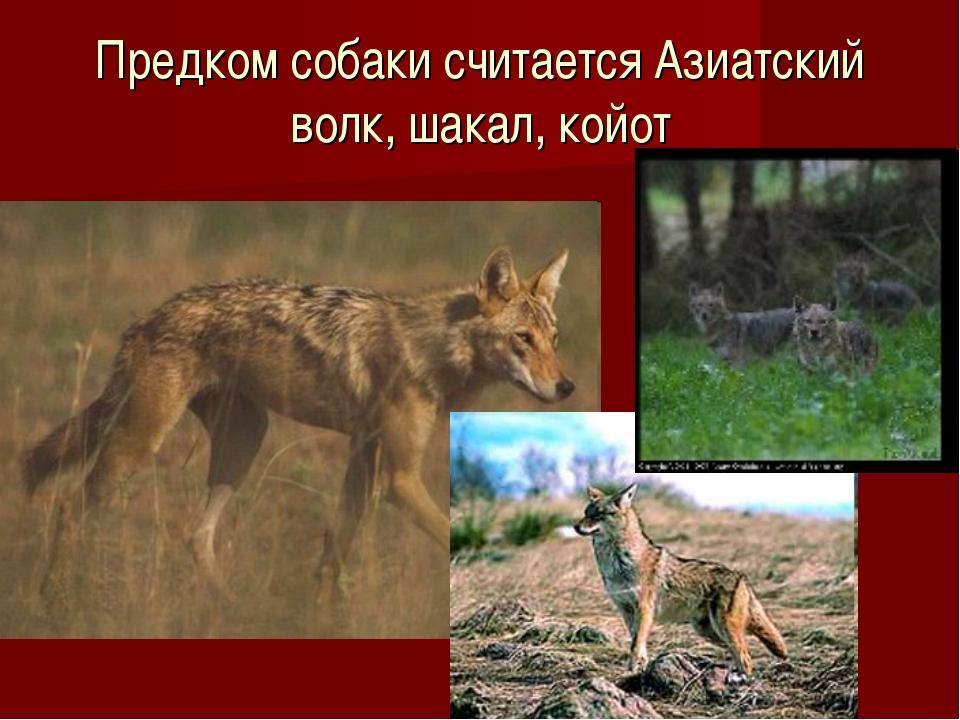 Предком собаки считается Азиатский волк, шакал, койот