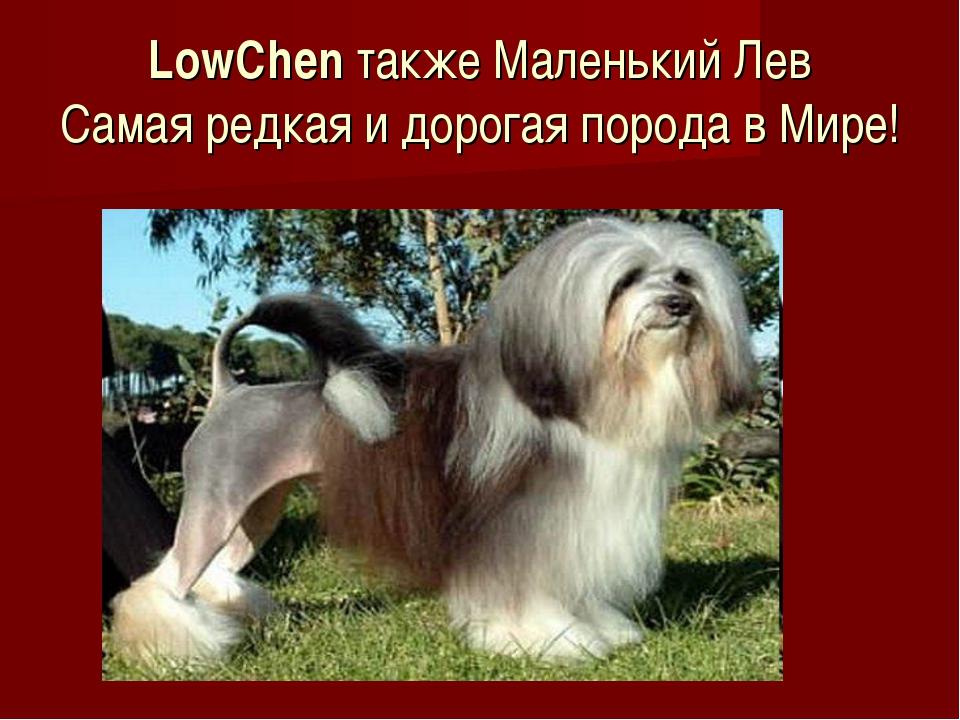 LowChen также Маленький Лев Самая редкая и дорогая порода в Мире!