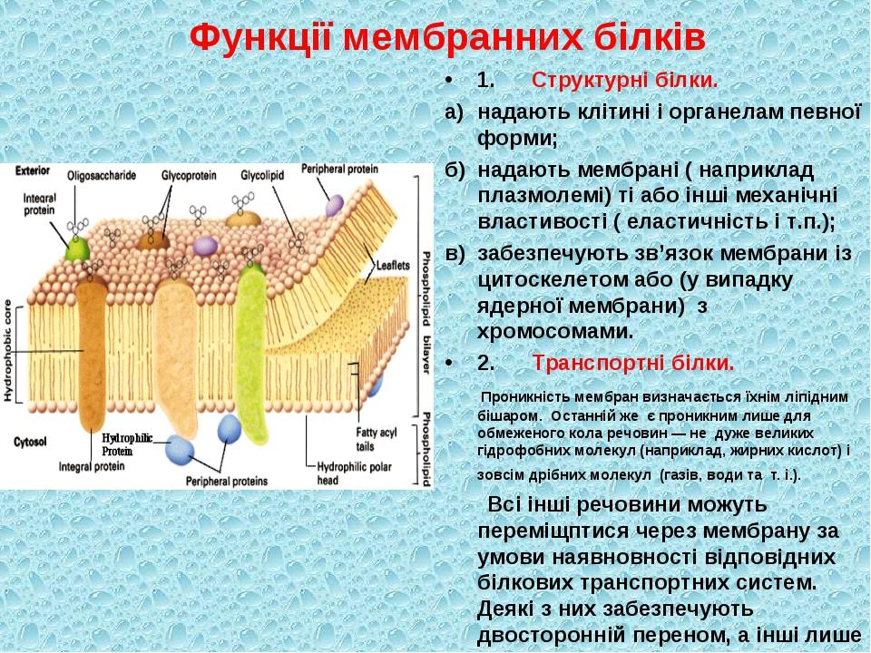 Функції мембранних білків 1.Структурні білки. а)надають клітині і органелам...