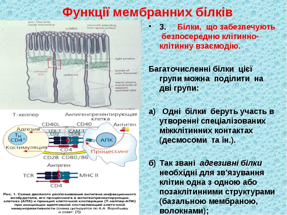 Функції мембранних білків 3.Білки, що забезпечують безпосередню клітинно-клі...