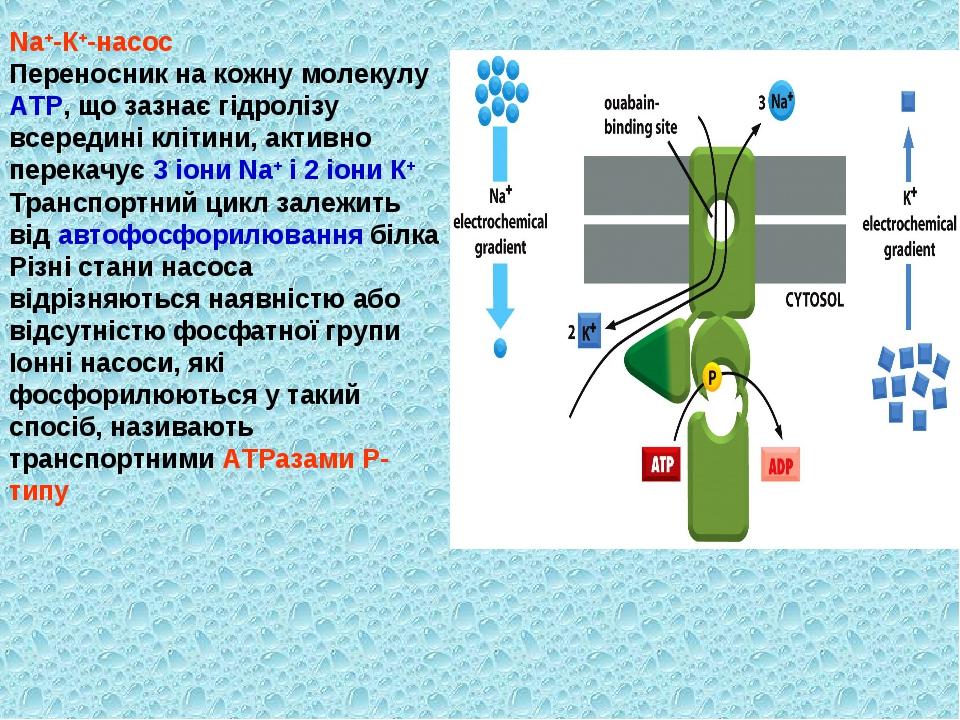 Nа+-К+-насос Переносник на кожну молекулу АТР, що зазнає гідролізу всередині...