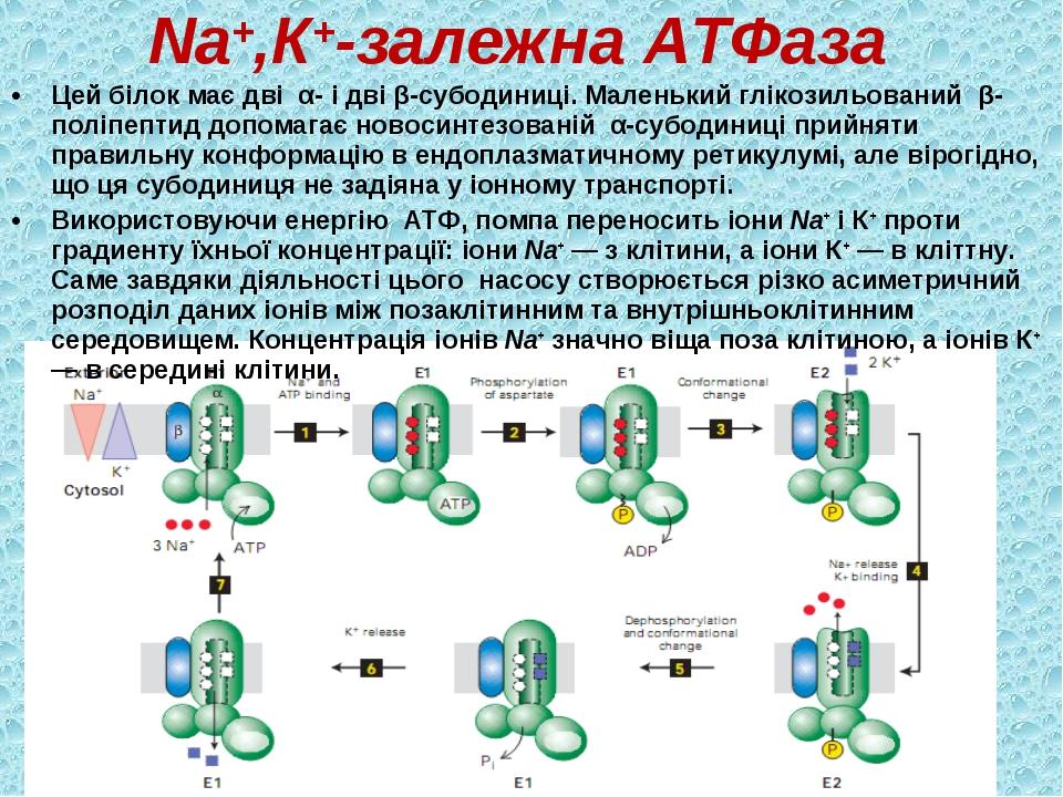 Nа+,К+-залежна АТФаза Цей білок має дві α- і дві β-субодиниці. Маленький глік...