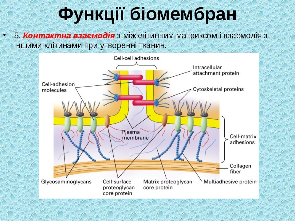 Функції біомембран 5. Контактна взаємодія з міжклітинним матриксом і взаємоді...