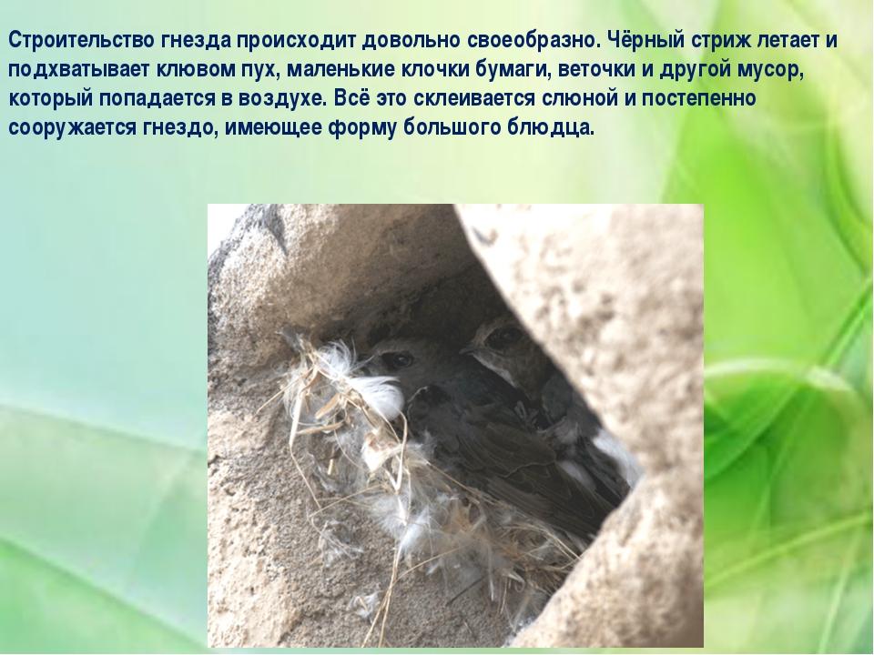 Строительство гнезда происходит довольно своеобразно. Чёрный стриж летает и п...
