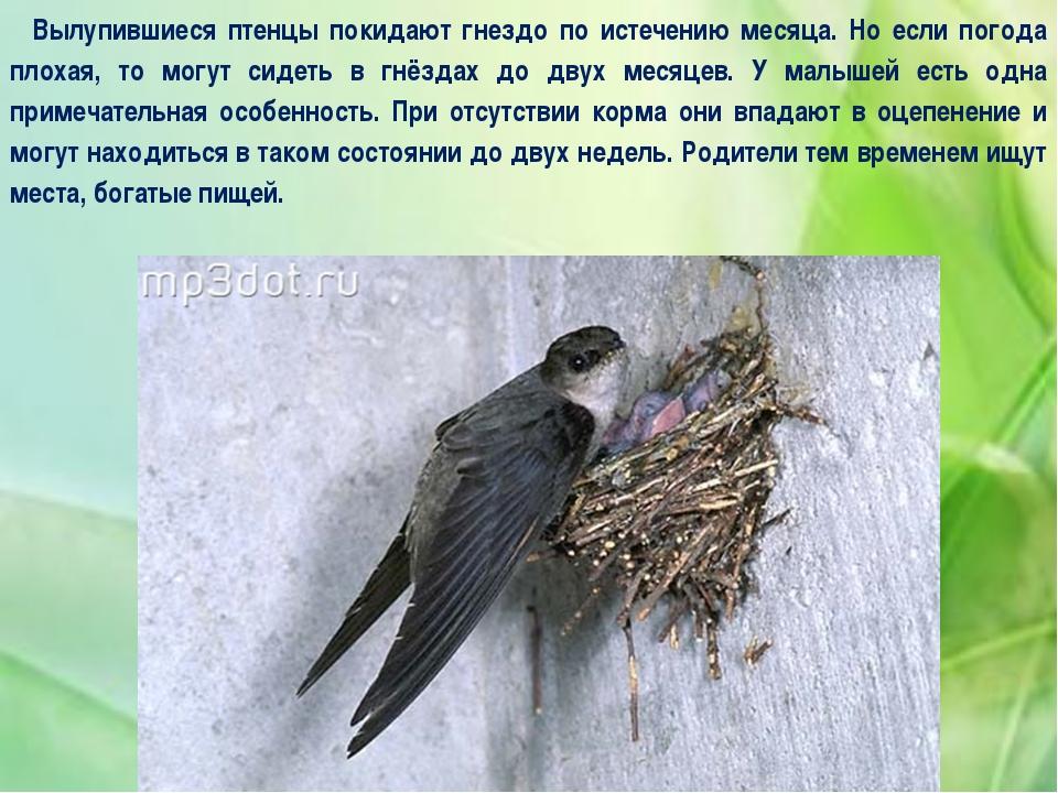 Вылупившиеся птенцы покидают гнездо по истечению месяца. Но если погода плоха...