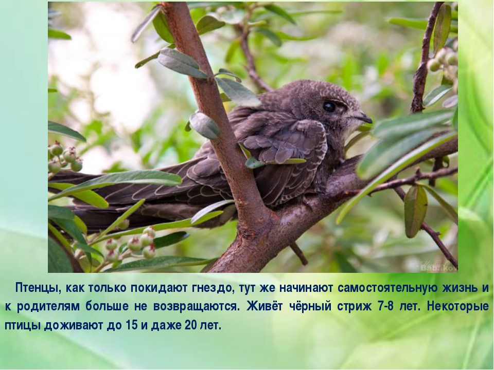 Птенцы, как только покидают гнездо, тут же начинают самостоятельную жизнь и к...