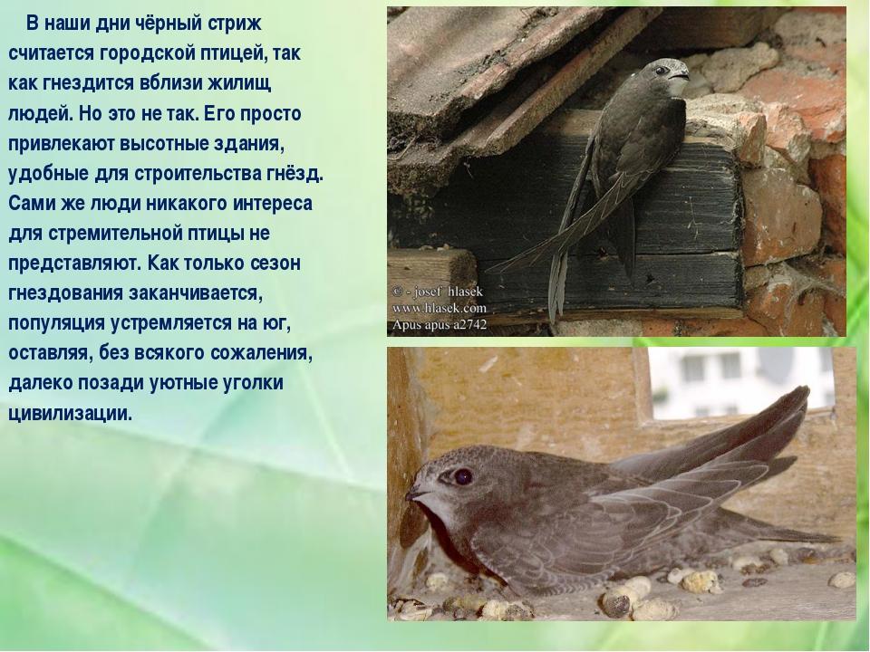 В наши дни чёрный стриж считается городской птицей, так как гнездится вблизи...