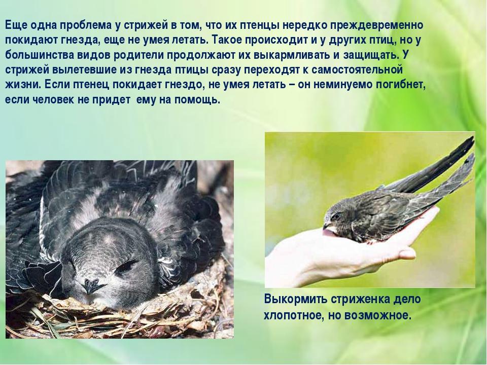 Еще одна проблема у стрижей в том, что их птенцы нередко преждевременно покид...