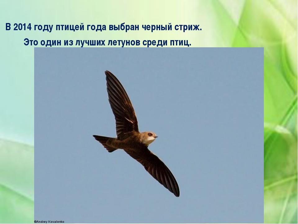 В 2014 году птицей года выбран черный стриж. Это один из лучших летунов сред...