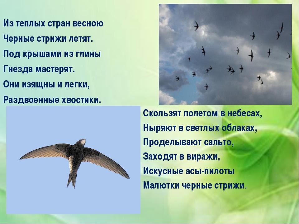 Из теплых стран весною Черные стрижи летят. Под крышами из глины Гнезда маст...
