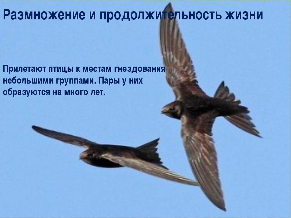 Прилетают птицы к местам гнездования небольшими группами. Пары у них образуют...