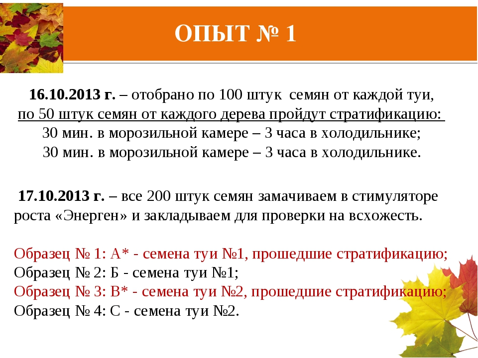 16.10.2013 г. – отобрано по 100 штук семян от каждой туи, по 50 штук семян от...