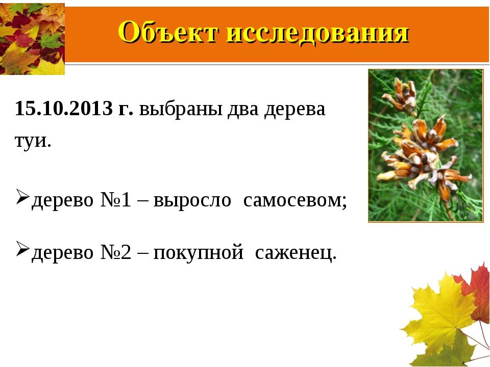 Объект исследования 15.10.2013 г. выбраны два дерева туи. дерево №1 – выросло...