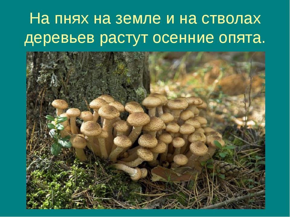 На пнях на земле и на стволах деревьев растут осенние опята.