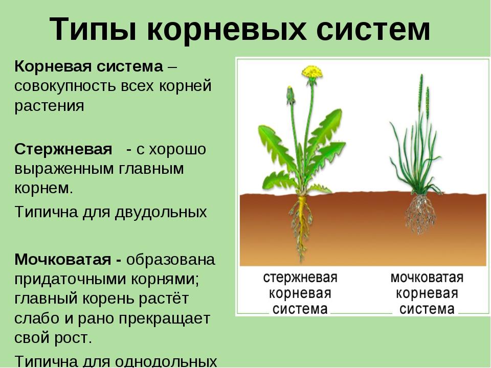 Типы корневых систем Корневая система – совокупность всех корней растения Сте...