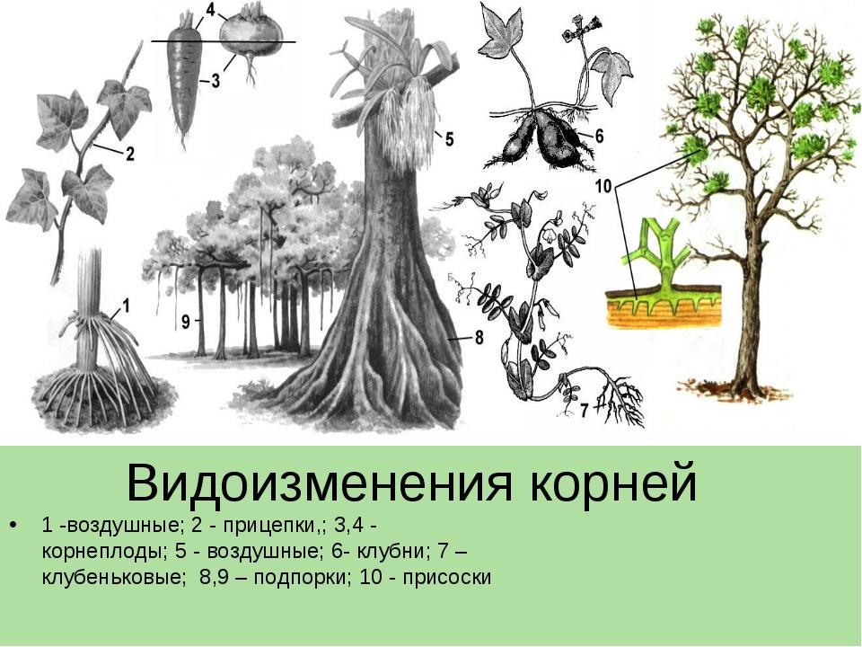 Видоизменения корней 1 -воздушные; 2 - прицепки,; 3,4 - корнеплоды; 5 - возду...
